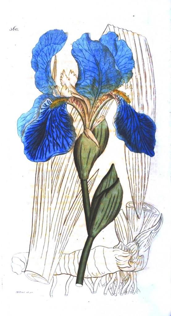 Botanical flower iris blue 554x1024