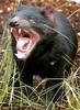 Large tasmaniandevil