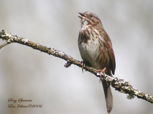 Song sparrow apr