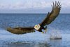Large bald eagle 11