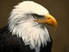 Large bald eagle
