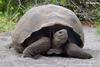 Large galapagos tortoise 3r