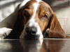 Large bassett hound