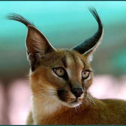 Mountain lynx