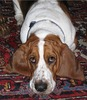 Large bassethound abernathy