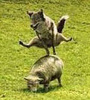 Large fox jumps over sheep sm