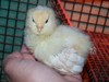 Large americauna chicks 1 week 003