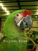 Large macaw1