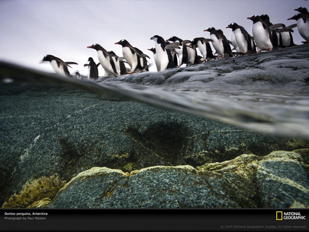 Gentoo penguin colony 1045595 lw