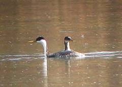 Western grebe by jeff and amy