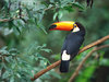 Large toco toucan
