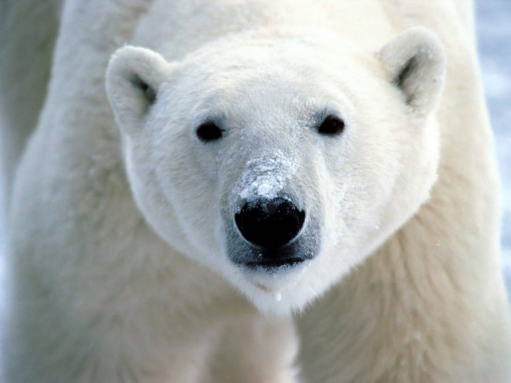 Snow on snout polar bear 1600x1200 799243