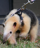 Large tamandua walkies