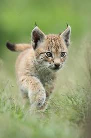 Wildcat cub trotting ing grass