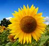 Large sunflower3