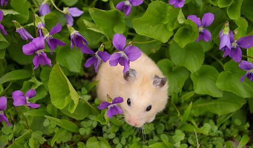 Hamster in violets