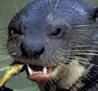 Otter smaller