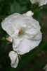 Large white rose mod