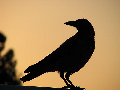 Crow sunset