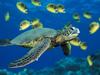 Large green sea turtle