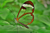 Large glasswinged butterfly