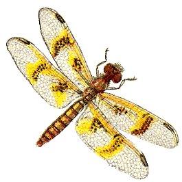 Dragonfly clip art  9337