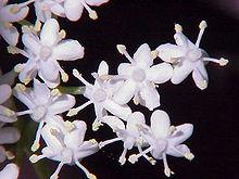 220px sambucus nigra0