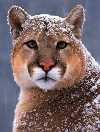 Cougar4