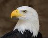 Large bald eagle portrait