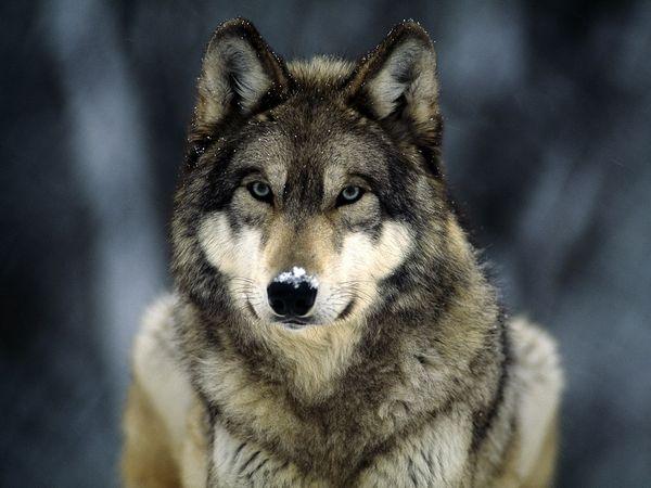Grey wolf 565 600x450