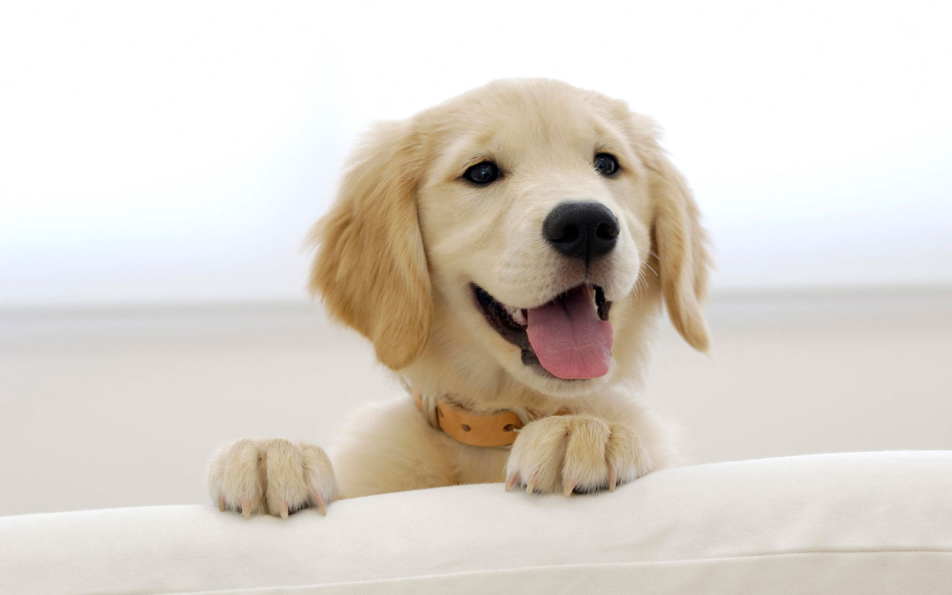 Golden retriever puppy wide