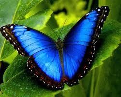 Blue butterfly1