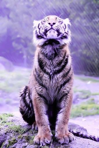 Tiger tawnya  1