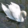 Large swan 1966 avatar 1024x1024