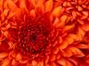 Large chrysanthemum