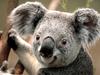 Large koala