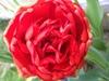 Large red complex tulip