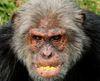 Large ape