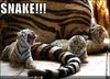 Large snake   tiger cubs