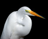 Large 00712 whiteheron