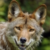 Large coyote