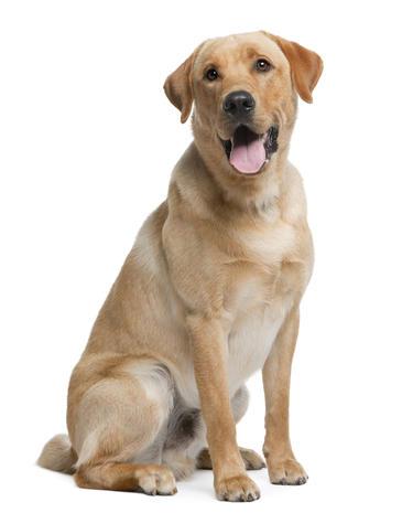Labrador retriever1istock