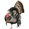 Large proud tom turkey 1 4 profile white background