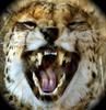 Large cheetah crop 2