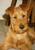 Large irish terrier1