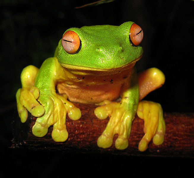 654px red eyed tree frog   litoria chloris edit1