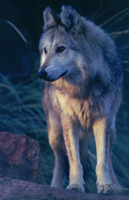 Mexicanwolf robinsilver 200y